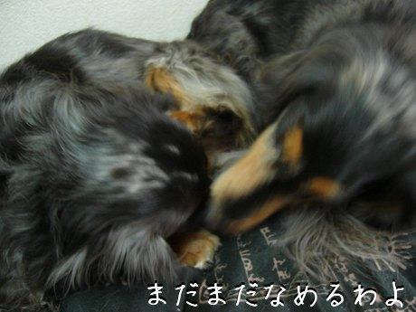 母犬まだ舐める