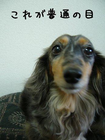 娘犬普通の目