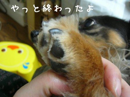 娘犬の切った爪