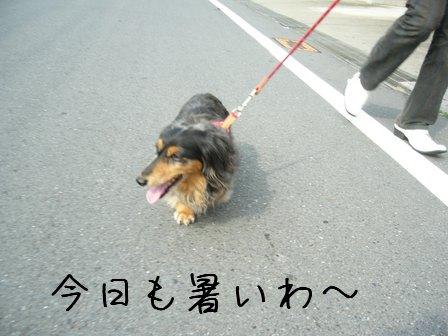 母犬暑いけど歩く
