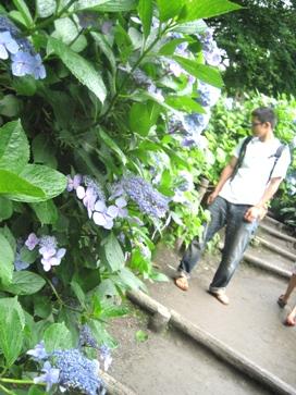 紫陽花の寺、明月院