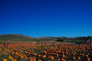 pumpkinputch