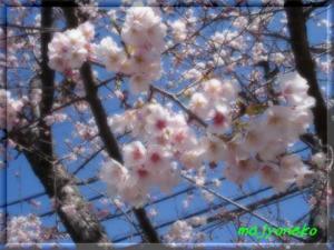 DSC081780002sakura.jpg