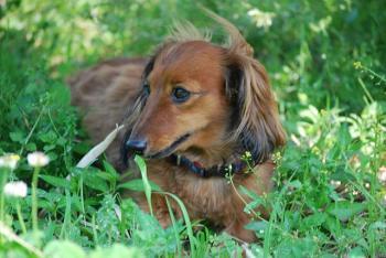 ペット 犬 ダックスフンド
