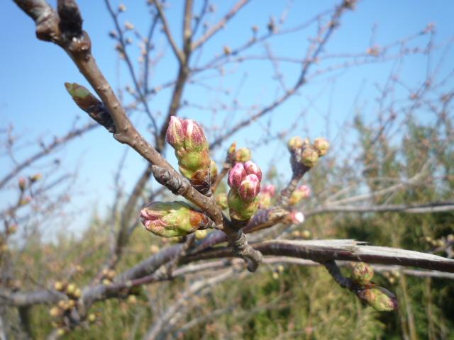 土手の桜3.27