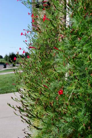 Cypress Vine(8.24)