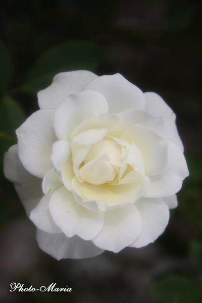 08a-rose71.jpg