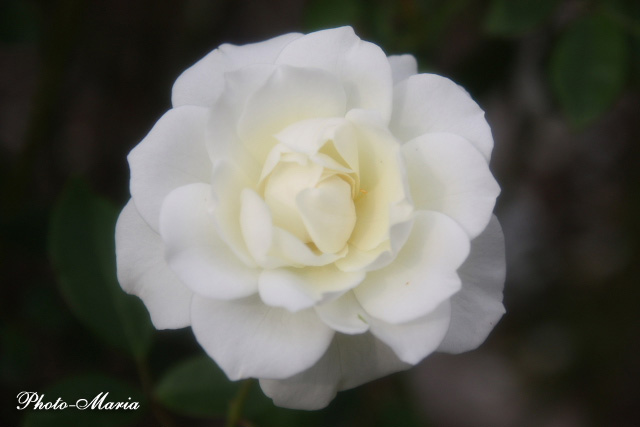 08a-rose72.jpg