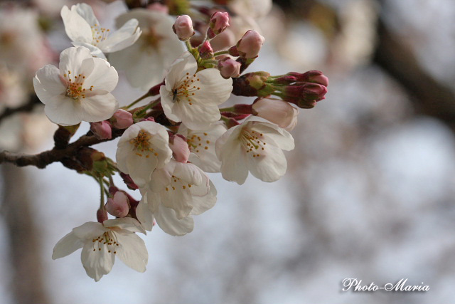 4-0904sakuramacro06.jpg