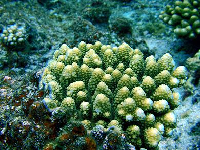 宮古島 サンゴ