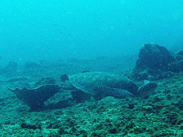 宮古島 カメ