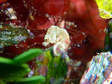 宮古島 がけ下 タツノオトシゴの1種
