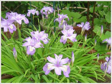 himesyaga2006.5.jpg