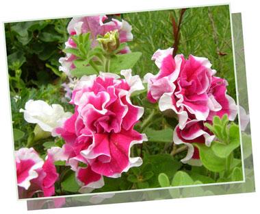 petyunia.doresuappu2006.jpg