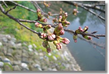sakura.matukawa.2007.3.28.jpg