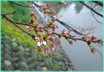 sakura.matukawa2007.3.30.jpg