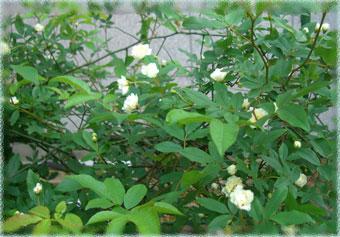siromokkou2007.5.jpg