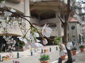 「花の道」の桜を見るのも、最初で最後だろうか・・・。