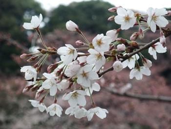 千鳥ヶ淵の桜 vol.2