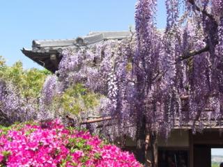 子安地蔵寺の藤