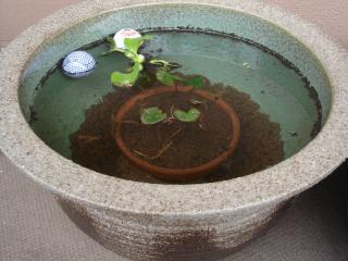 信楽焼のスイレン鉢をセットアップ