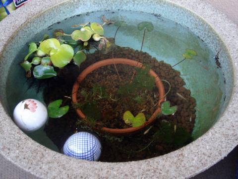 11月末の睡蓮鉢(稚魚メダカ)