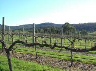 grape tree2