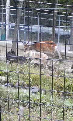 鹿&オオカミ