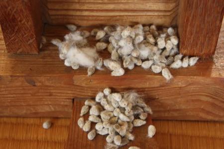 090909木綿の種