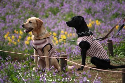 2009326紫色の花畑2