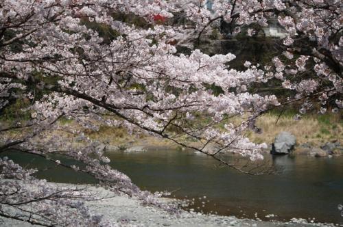 200947sakura1