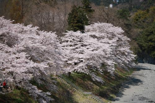 200947sakura5