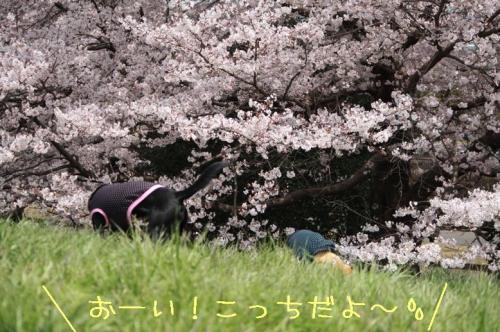 200949sekkakunosakura