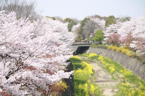 200949sakura10