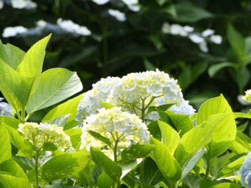 2009616ajisai5