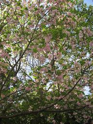 新薬師寺の八重桜