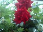 町で見かけた花シリーズ07121