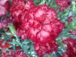 町で見かけた花シリーズ07136