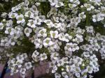 町で見かけた花シリーズ07137
