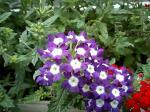 町で見かけた花シリーズ07151