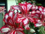 町で見かけた花シリーズ07165