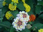 町で見かけた花シリーズ07181