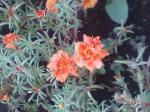 町で見かけた花シリーズ07246