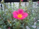 町で見かけた花シリーズ07255