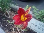 町で見かけた花シリーズ07259