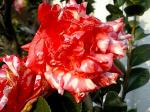 町で見かけた花シリーズ07331