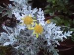 町で見かけた花シリーズ07366