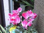 町で見かけた花シリーズ07370
