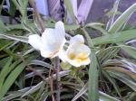 町で見かけた花シリーズ07379