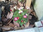 町で見かけた花シリーズ0740